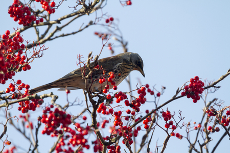 turdus: Fieldfare  (Turdus pilaris) perched in a tree with red berrys