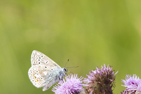 The Common Blue (Polyommatus icarus) is a small butterfly in the family Lycaenidae. photo