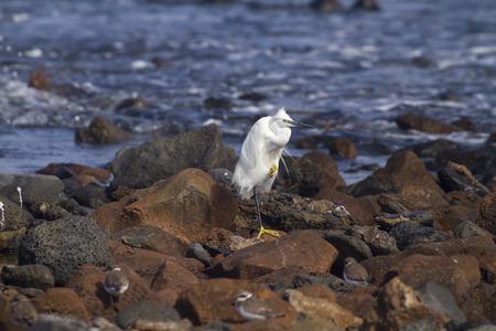 little egret (egretta garzetta)  resting on the rocks Stock Photo