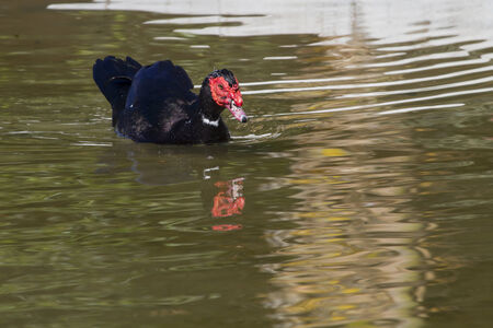 Muscovy Duck  (Cairina moschata) in the water