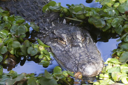 Alligator (Alligator Mississippiensis) in the water photo