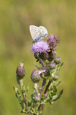 lycaenidae: The Common Blue (Polyommatus icarus) is a small butterfly in the family Lycaenidae.