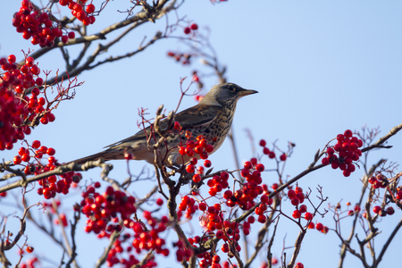 pilaris: Fieldfare  (Turdus pilaris) perched in a tree with red berrys