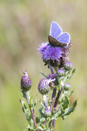 The Common Blue  is a small butterfly in the family Lycaenidae. photo