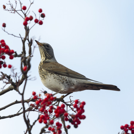 turdus: Fieldfare   perched in a tree with red berrys