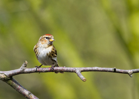 Redpoll (Carduelis flammea)  closeup on a branch Stock Photo