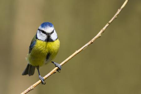 caeruleus: Blue Tit  (Parus caeruleus) perched on a branch