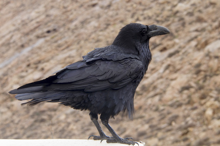 curved leg: Raven perched on a ledge Stock Photo