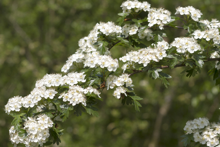 Blossoms of Hawthorn  (Crataegus monogyna)  photo