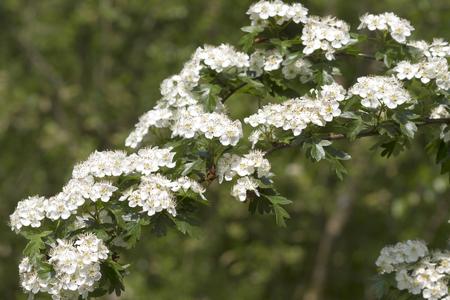crata�gus: Flores de espino (Crataegus monogyna) Foto de archivo