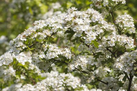 crata�gus: Flores de Hawthorn, Crataegus monogyna,