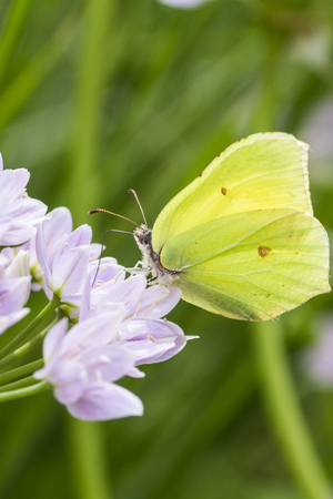 defocussed: Brimstone butterfly perched on a purple flower Stock Photo