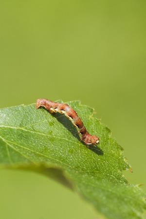 umber: Mottled Umber (Erannis defoliaria) caterpillar on a leaf