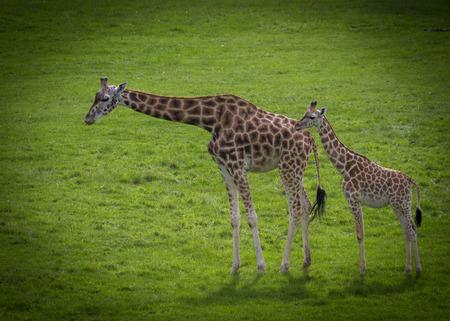 Baby Giraffe With  mum