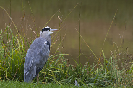 ardea cinerea: Grey Heron (Ardea cinerea) looking for next meal.