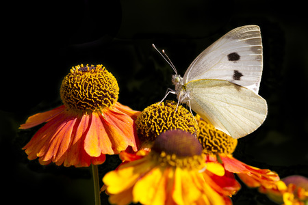 large white butterfly on beautiful orange flowers photo