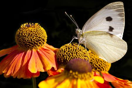 large white butterfly on beautiful orange flowers photo