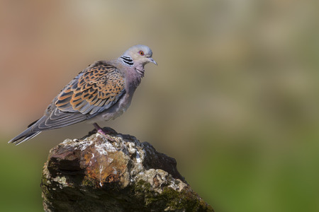 Turtle Dove standing on old iron
