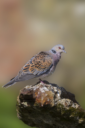 turtle dove: Turtle Dove standing on old iron