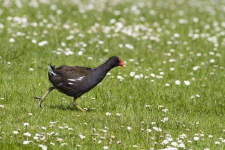 Moorhen running on grass with daisies photo