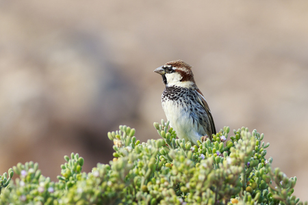 passer    by: Spanish sparrow (Passer hispaniolensis) Perched on a plant Stock Photo