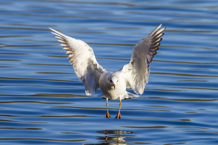 chroicocephalus: Black-headed gull (Chroicocephalus ridibundus) landing on the water