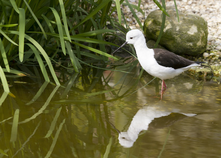black winged stilt: Black winged Stilt (Himantopus himantopus) with reflection