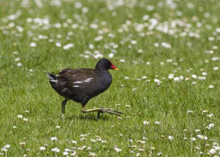 moorhen: Moorhen running on grass with daisies Stock Photo