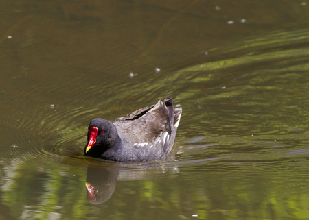moorhen: Moorhen swimming on the lake closeup