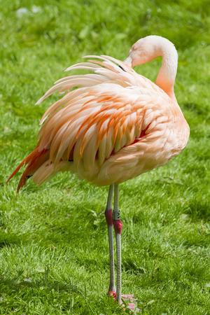 florida flamingo: A beautiful Flamingo standing on grass Stock Photo
