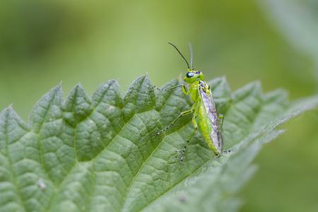 viridis: Rhogogaster viridis is a common sawfly in the UK