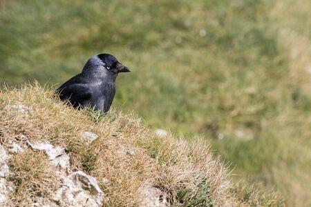 corvidae: Jackdaw (Corvus monedula) sat on top of a cliff