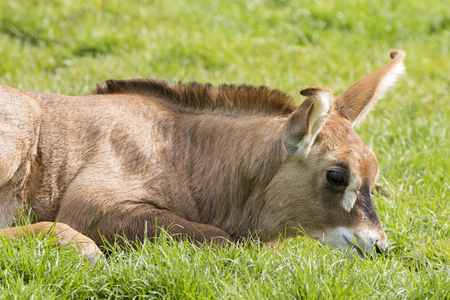 roan: A baby Roan antelope (Hippotragus equinus)
