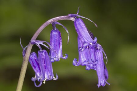 Bluebell flower close-up with a green background