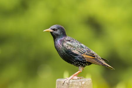 일반적인 Starling- Sturnus vulgaris 울타리에 자리 잡고