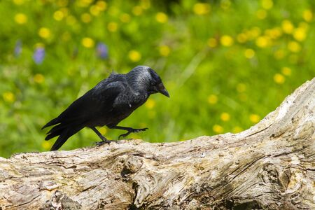 jackdaw: Jackdaw (Corvus monedula) perched on a log Stock Photo