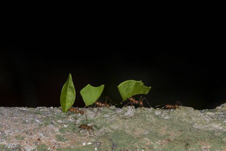 Leaf cutter ants carrying a leaf photo