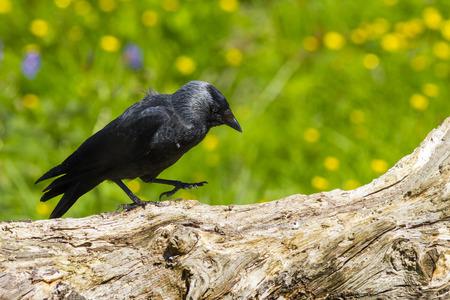 jackdaw: Jackdaw (Corvus monedula) perched on a log Stock Photo