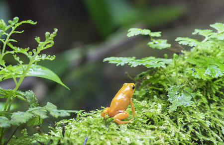 micro climate: Colorful Golden Dart Frog ,poison dart frog in terrarium. Stock Photo