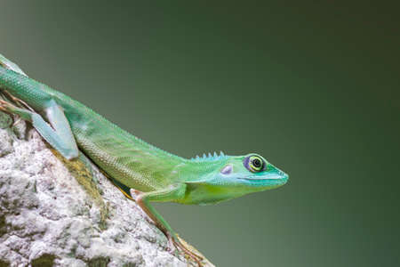 crested gecko: green crested lizard (Bronchocela cristatella) on a branch