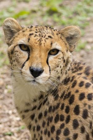 acinonyx: Cheetah (Acinonyx jubatus) close-up head shot