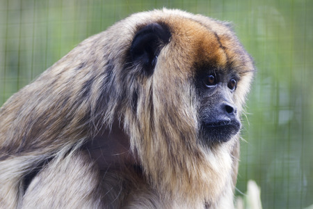 howler: black Howler monkey close-up head shot