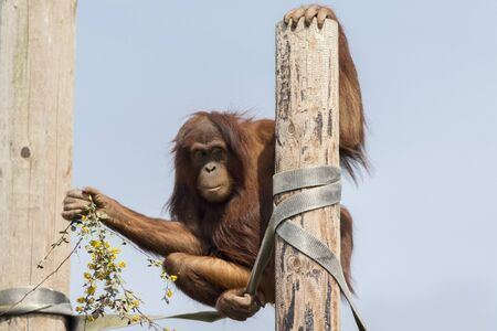 anthropoid: Portrait of a funny orangutan with flowers Stock Photo
