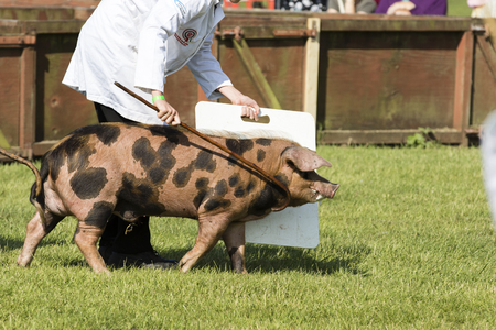 showground: Harrogate, North Yorkshire, UK. 15th July, pig being judged at the Great Yorkshire Show 15th July, 2015 at Harrogate in North Yorkshire,  England