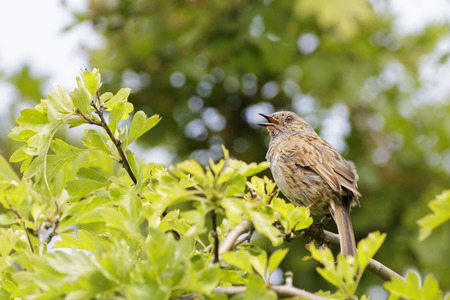 prunella: Dunnock (Prunella modularis) perched in a tree
