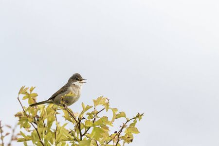 communis: Common Whitethroat (Sylvia communis) perched on a twig singing Stock Photo