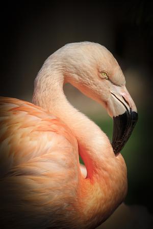 phoenicopterus: Beautiful pink Caribbean flamingo ( Phoenicopterus ruber ruber )