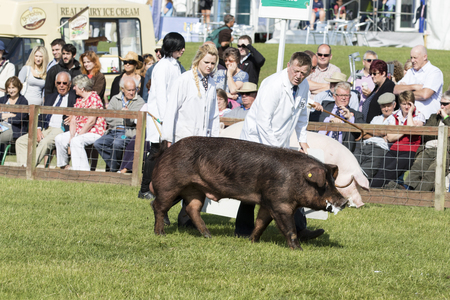 judged: Harrogate, North Yorkshire, UK. 15th July, pig being judged at the Great Yorkshire Show 15th July, 2015 at Harrogate in North Yorkshire,  England