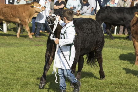 showground: Harrogate, England - July 15th, 2015: cow being judged at the Great Yorkshire Show 15th July, 2015 at Harrogate in North Yorkshire,  England