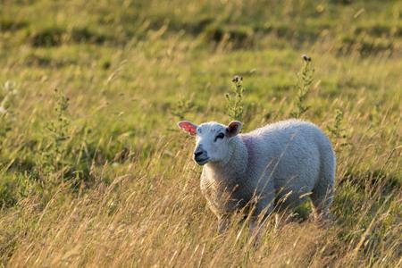 feild: Sheep in a feild as the sun goes down
